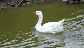 Goose on a country farm. During the cloudy summer day stock photography