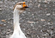 Goose on a country farm. During the cloudy summer day royalty free stock photos