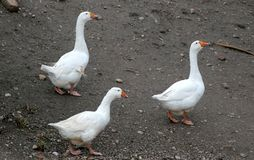 Goose on a country farm. During the cloudy summer day stock photos