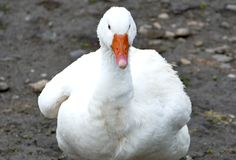 Goose on a country farm. During the cloudy summer day royalty free stock image