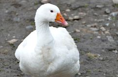 Goose on a country farm. During the cloudy summer day royalty free stock photography
