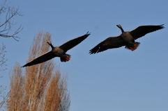 Goose couple flying Royalty Free Stock Image