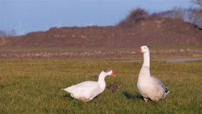 Goose couple on grass at sunset stock video footage