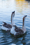 Goose couple in the Lake Stock Image