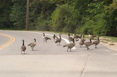 Goose crossing. A group of gees crossing a road in North Eastern Ohio royalty free stock photography