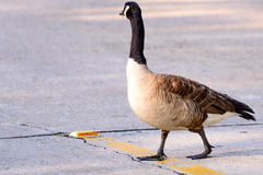 Goose crossing a street. Goose walking across a concrete road Stock Image