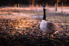 Curious geese at sunset on the farm. stock photography