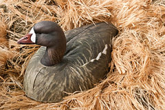Goose decoy with stuffed and calls Royalty Free Stock Photography