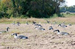 Goose Decoys Stock Photography