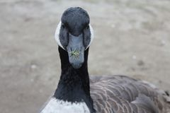 The face of a Goose stock photography