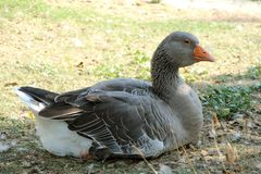 Goose,domestic bird royalty free stock photo