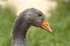 Goose in Dordogne, France Stock Photography