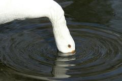 Goose drinking royalty free stock images