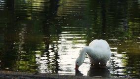 Free Goose Drinking Water Stock Photos - 36352313
