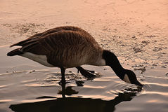 Goose drinking water , golden hour. Royalty Free Stock Photography