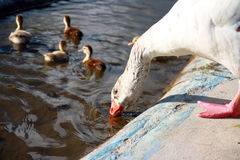 Goose is drinking water from pond and five ducklings Royalty Free Stock Image