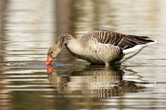 Goose. Drinks from the lake Royalty Free Stock Photography