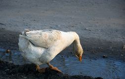 The goose drinks water from the puddle on the farm. Village royalty free stock photo