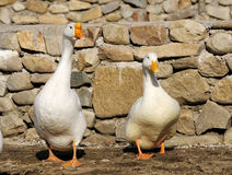 Goose and duck royalty free stock photography