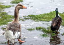 Goose and duck. Pilgrim Goose and Mallard Duck strolling through rain puddles Royalty Free Stock Photo