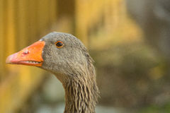 Goose, duck, anatide the lake Stock Image