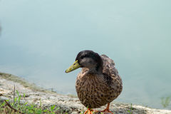 Goose, duck, anatide the lake Royalty Free Stock Image
