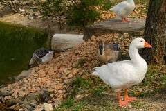 Goose, duck, anatide the lake Royalty Free Stock Photography