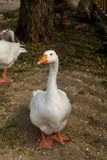 Goose, duck, anatide the lake Stock Photos