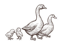 Goose and Duck farm animals sketch. Hand drawn birds family with two chickens kids near mom and father. Vector illustration stock illustration