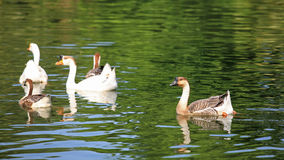 Goose and duck swimming. On the pond Stock Image