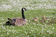 Goose with ducklings Royalty Free Stock Images