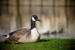 Goose and ducks. Goose resting on the bank, with ducks swimming in the background Stock Photo