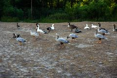 Goose and ducks. On the bank of the pond Stock Image