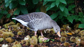 Goose eating chestnuts in Kew gardens in London Stock Image