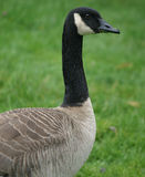 Goose Eating Grass Stock Photography