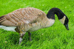 A goose eating grass in a park Stock Images