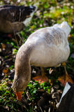 Goose eating Stock Photography