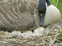 Goose With Eggs. Canadian goose sitting on a nest with her eggs showing Royalty Free Stock Photography