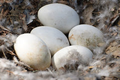 Goose Eggs. Closeup of five white goose eggs shot in a nest with feathers and leaves in it Royalty Free Stock Image