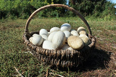 Goose eggs in the basket on the grass Stock Images