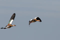 Goose Egypt in flight Royalty Free Stock Photo
