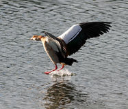 Goose Egypt landing Royalty Free Stock Photos
