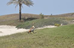 Goose, Egyptian (Alopochen aegyptiacus) Stock Photography