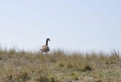 Goose, Egyptian (Alopochen aegyptiacus) Royalty Free Stock Images