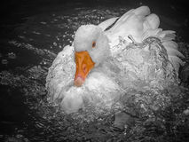 A goose enjoying life Royalty Free Stock Image