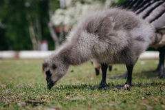 Goose in Ethnographic park. The open air museum  in Stockholm Royalty Free Stock Images