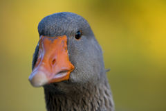 Goose eyes Stock Images