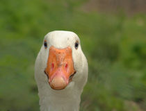 Goose Face Close Up. Beak and Face of White Goose Stock Image