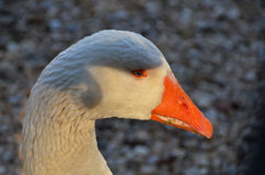 Goose face portrait. Portrait of goose with shade on the head Stock Photo