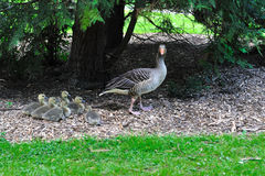 Goose familiy Royalty Free Stock Photography